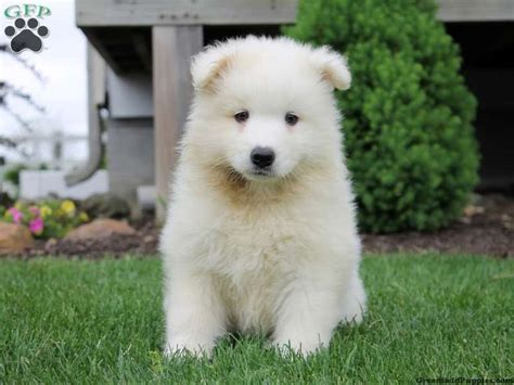samoyed puppies for sale in pa 17 best images about lovable puppies for sale on puppy for adoption