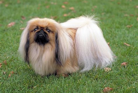 pekingese puppies pekingese in the grass photo and wallpaper beautiful pekingese in the grass