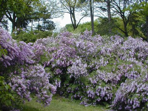 lilac bush lilac tree pictures photos images