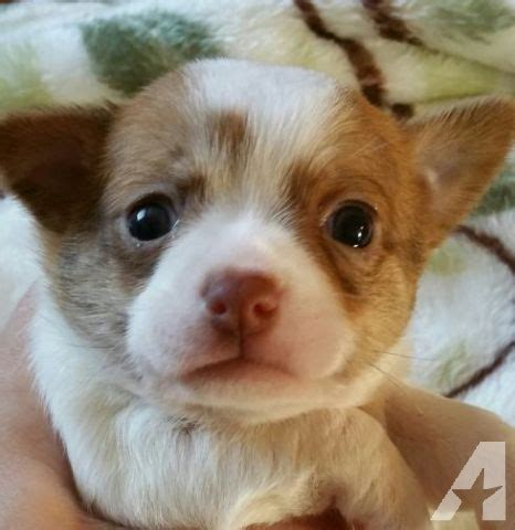 puppies for sale vancouver wa chihuahua puppies and for sale in vancouver washington classified