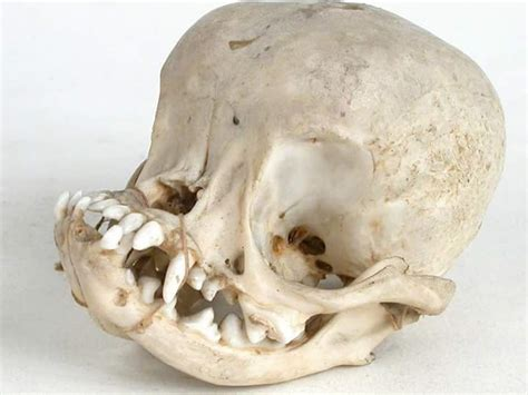 what s a pug this is what the skull of a pug looks like