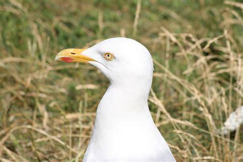 gabbiano uccelli gabbiano della normandia foto immagini animali uccelli