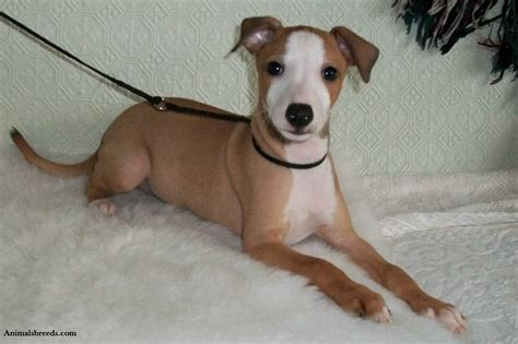 italian greyhound puppy italian greyhound puppies rescue pictures information temperament