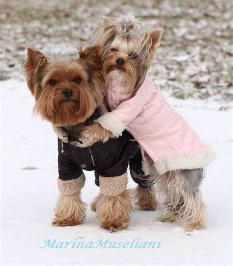 are yorkies with 403 best images about dressed up yorkie on puppys terrier