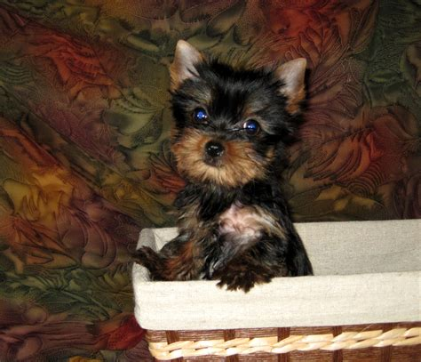 8 week yorkie puppies pocketbook pups terriers puppies