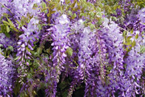 copy right free pictures of purple wisteria wisteria flowers stock photography image 26933262