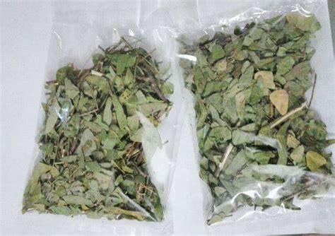 Teh Hijau Kering daun rerama di kuala lumpur produk daun rama rama kering