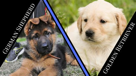golden retriever vs german shepherd fight golden retriever vs german shepherd maxinne 5 month german shepherd vs