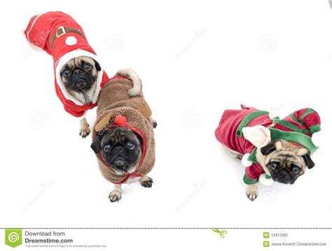 three pugs three pugs stock photo image 12477000