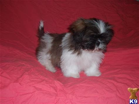 pug shih tzu mix for sale images of pug shih tzu mix puppies for sale imperialshihtzu org to breeds picture