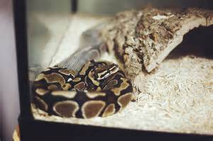 what causes lethargy in pythons my pet python