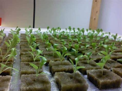 Harga Bibit Sawi Dan Kangkung pembibitan tanaman hidroponik bibit