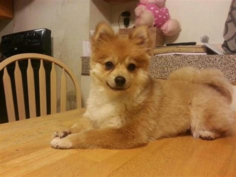 haircuts for pomeranian 17 best images about haircuts for chester on cutest dogs pomeranian