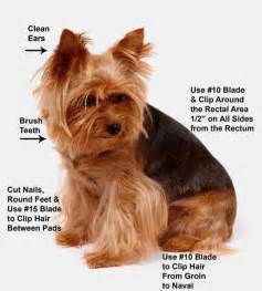 traditional yorkie cut 25 best ideas about cuidados on tudo sobre caes caes