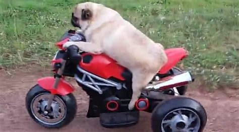 pug motorcycle pug rides mini motorcycle just like human