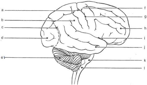 Brain Labeling Worksheet by Blank Brain Diagram Worksheet Breeds Picture