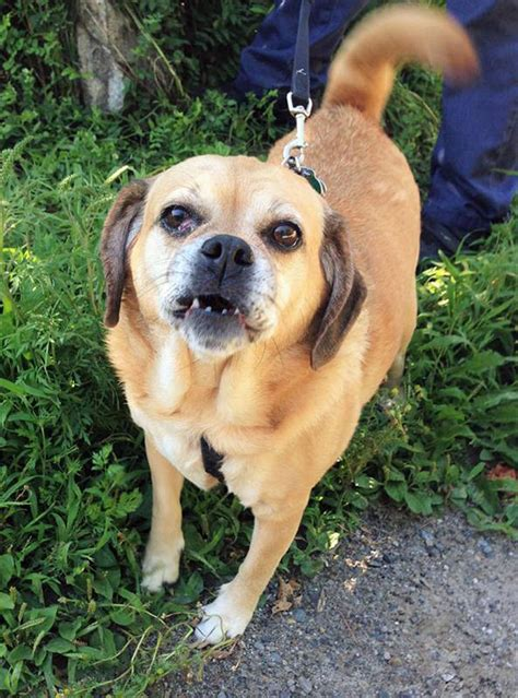 half pug half beagle sassy is a small with a big personality rockland camden courier