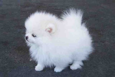 white teacup pomeranian for sale teacup pomeranian puppies for sale thepetspot co uk uk free pets m5x eu