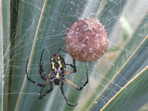 Garden Spider Egg Sac by Garden Spider And Egg Sac Explore Bill Lowry S Photos On