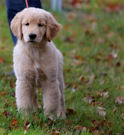 golden retriever breeder nc puppy names unique puppies puppy