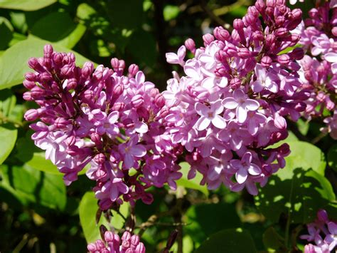 lilacs flowers lilac flower purple photo 34733516 fanpop