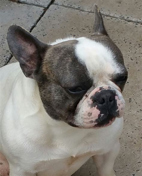 french bulldog for sale uk french bulldogs for sale bolton greater manchester