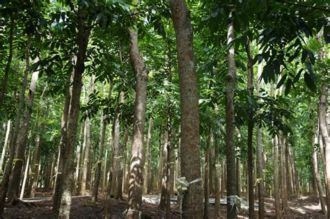 who introduced the tree our philippine trees the silent forest