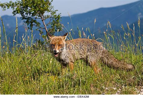 le renard dans l ile mountain fox photos mountain fox images alamy