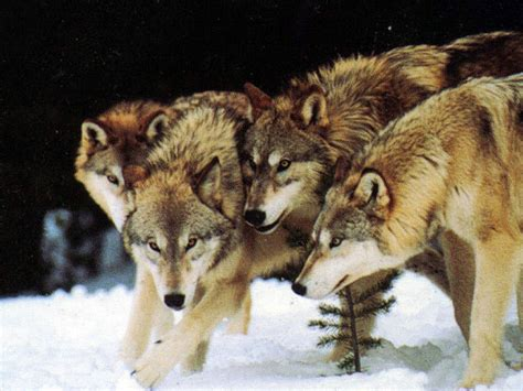9 best images about wolf wolf pack best animals