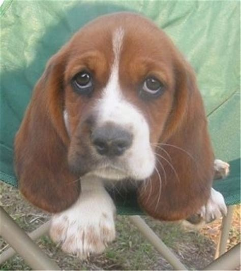 cheap basset hound puppies for sale american bulldog puppies basset hound puppies ontario