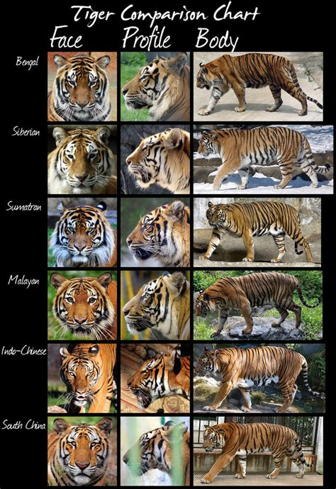 what are the different types of tigers living quick comparison of tiger subspecies