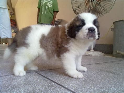 st bernard puppies price st bernard puppies for sale jhon 1 11338 dogs for sale price of puppies dogspot in