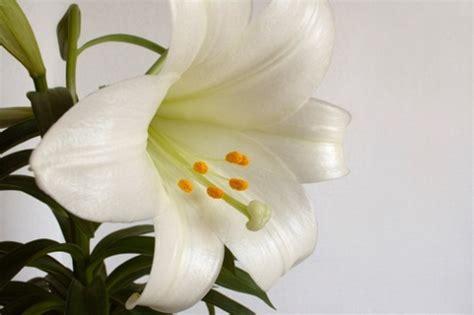 significato fiore giglio significato dei fiori il giglio pollicegreen