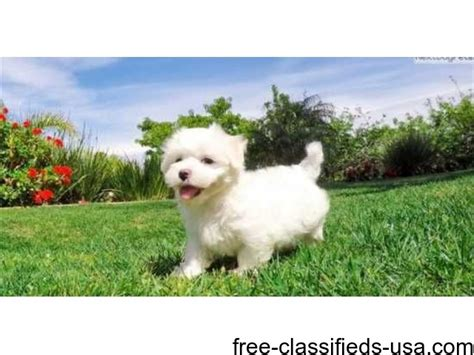 maltipoo puppies for adoption maltipoo puppies for adoption animals atwood
