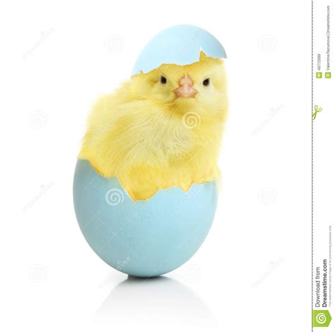 How To Make An Easter Egg Out Of Paper - chicken coming out of the easter egg stock