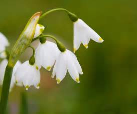 snowdrops free stock photo public domain pictures