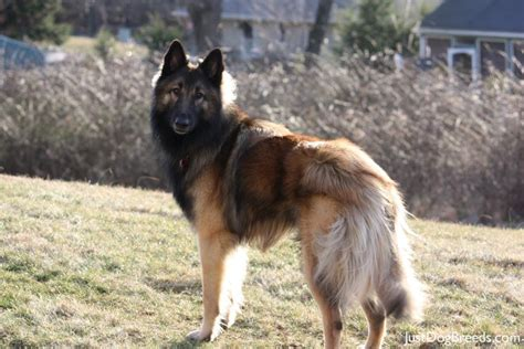 belgian breeds belgian shepherd tervuren with his master wallpaper breeds picture