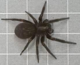 big black house spider black house spider by drumlanrig on deviantart