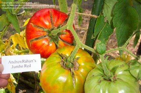 Myna Jumbo3 plantfiles pictures tomato andrew rahart s jumbo lycopersicon lycopersicum by