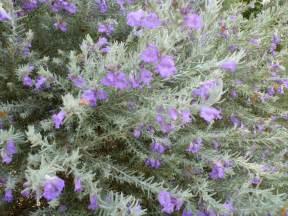 Silver Grey Foliage Plants - eremophila nivea emu bush gardening with angus
