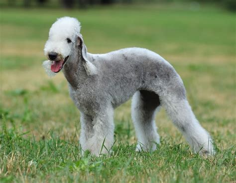 bedlington terrier puppies bedlington terrier breed information pet365