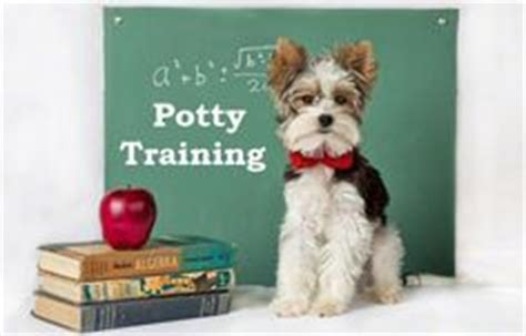 are yorkies easy to potty morkie puppies how to potty a morkie puppy morkie house tips