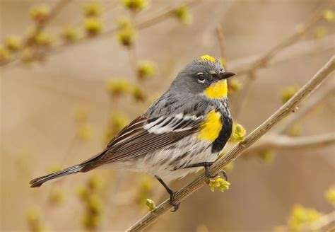 yellow rumped warbler audubon field guide