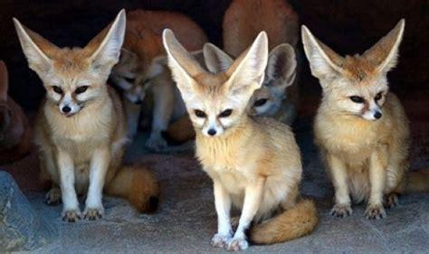 fennec fox    cutest animal  desert