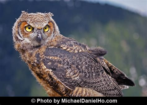 great horned owls calling birdnote