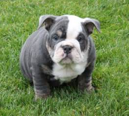 bulldog colors cool blue bulldog puppies the bulldog colors