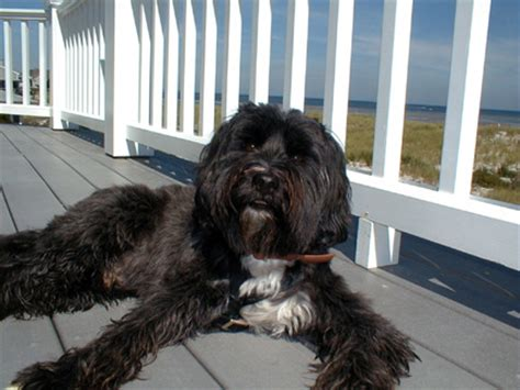 hair cuts for the tebelan terrier tibetanterrier haircuts hair cuts for the tebelan terrier
