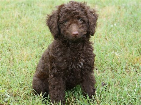 mini chocolate doodle miniature labradoodle info temperament puppies