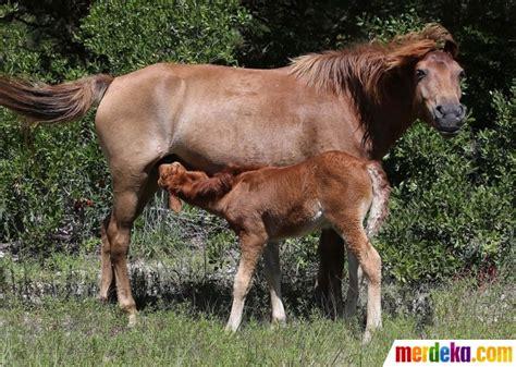 Sho Kuda Di Century foto mengunjungi surga kuda poni di pulau assateague