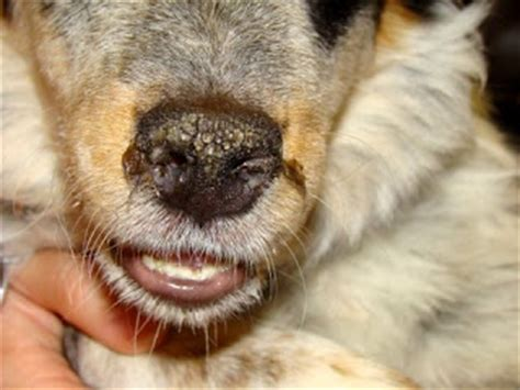 crusty nose crusty scabs on dogs ears images frompo